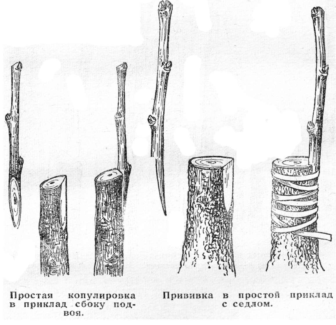 Как сделать прививку дереву почкой