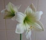 Цветение двухлетнего гиппеаструма
