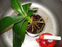 Полезно опрыскивать корни раствором эпина