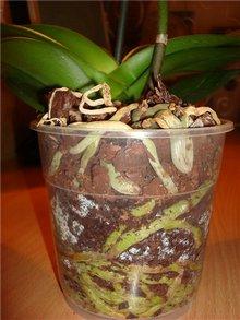 Верхние корни фаленопсиса особенно любят влажность, их лучше окутывать сфагнумом
