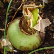 Подкормки калийной селитрой можно давать в период от бутонизации до плодоношения