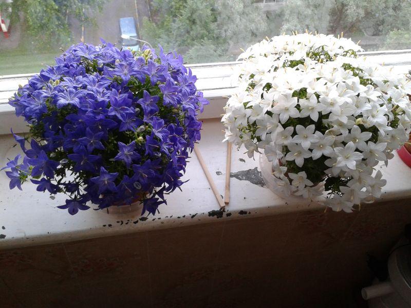 Жених и невеста комнатное растение