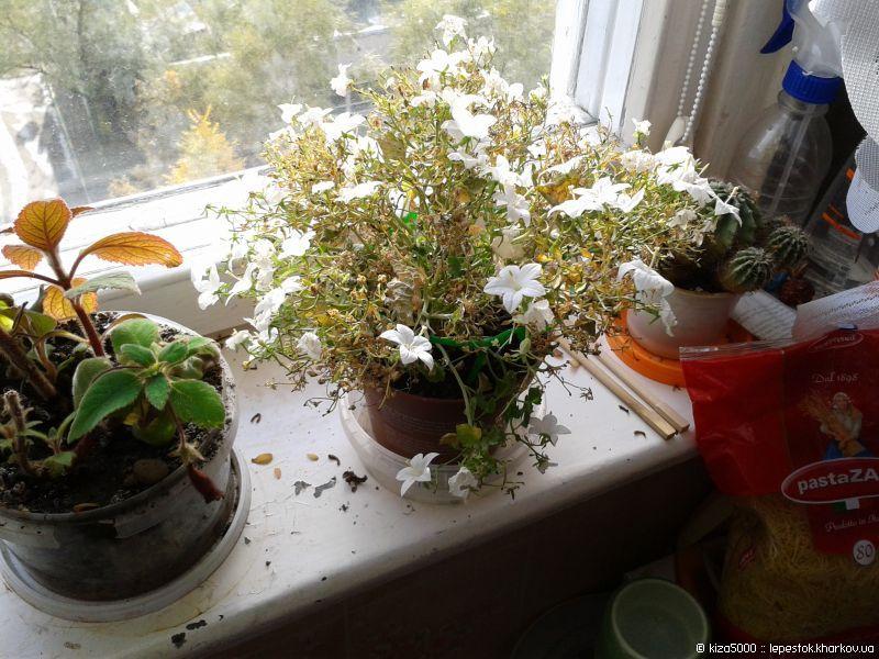 комнатные цветы невеста и жених фото