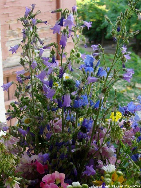 Определяем виды садовых колокольчиков
