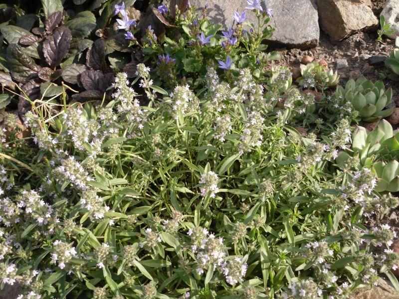 Растения для альпинариев - Ландшафтный дизайн, садовая техника ...