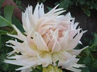 Георгины - магия цветов
