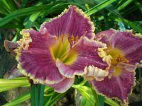 Сад непрерывного цветения: цветущие в августе