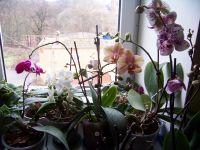 Фаленопсисы и другие орхидеи