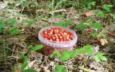 В лес за ягодами