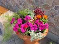 Определено: цмин черешковый (Helichrysum petiolatum)