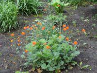 Сад непрерывного цветения: цветущие в мае: Гравилат ярко-красный