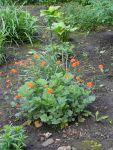 Сад непрерывного цветения: цветущие в мае: Geum coccineum