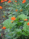 Сад непрерывного цветения: цветущие в мае: Цветение гравилата длится 30-40 дней