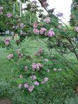 Робиния - необыкновенная розовая акация: Ветка цветущей робинии