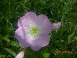 Сад непрерывного цветения: цветущие в мае