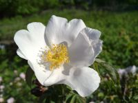 Сад непрерывного цветения: цветущие в июне