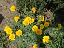 Эшшольция калифорнийская Абрикосовый шифон