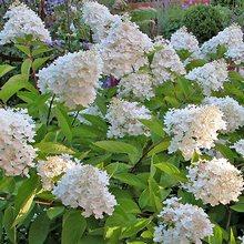 Флер виды гортензии садовые цветы