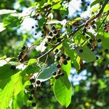 Плоды черемухи обыкновенной обладают массой 0,3-0,5 г