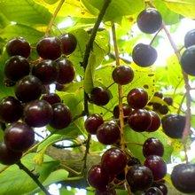 Плоды черемухи виргинской обладают массой от 0,6 до 0,9 г