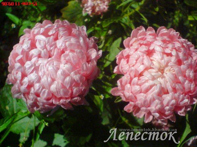 Астра пионовидная фото цветов