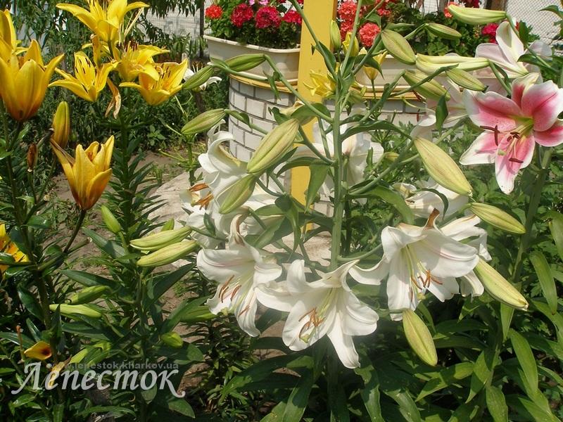 Разновидности лилий садовых фото
