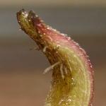 Корешки на черенке глоксинии