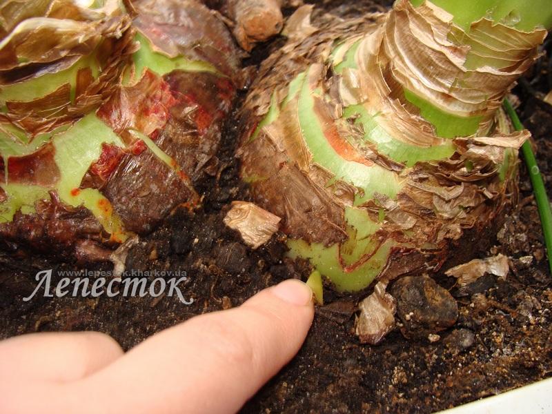 Когда сажать амариллис из луковицы 94