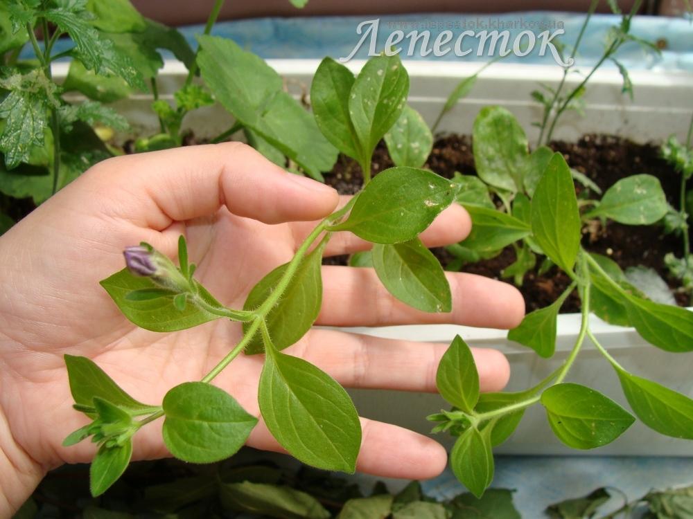 Петуния из черенков выращивание 15