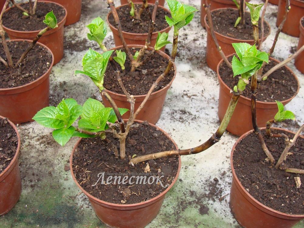 Выращивание гортензии крупнолистной из черенков 25