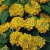 Лантана камара желтая