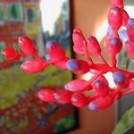 Соцветие эхмеи сверкающей
