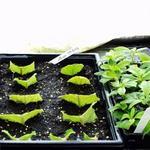 Размножение стрептокарпусов черенками-отрезками листьев