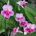 У стрептокарпусов окраска цветка очень богата и разнообразна