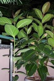 Фикус: виды и разновидности - Комнатные растения - Лепесток ...