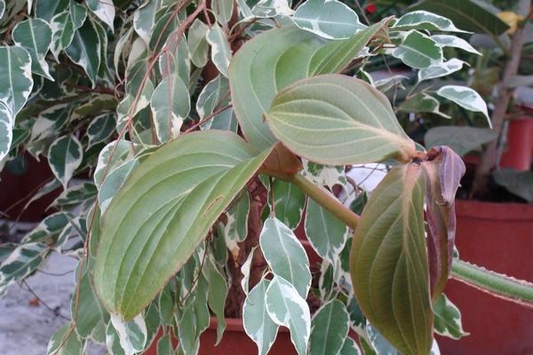 Листья мединиллы великолепной