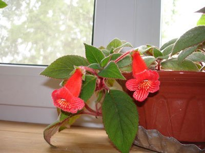 Цветок комнатный с красными колокольчиками