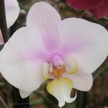 Разнообразие окрасок фаленопсиса