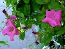 Разнообразие окрасок петуний