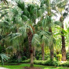 Веерная пальма ливистона