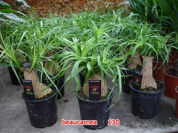 Бокарнея растет очень медленно, поэтому экземпляры с толстыми стволами в магазинах стоят очень дорого