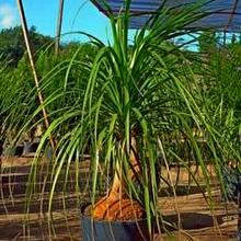Бокарнея в кадке - дерево-ксерофит под открытым тропическим солнцем