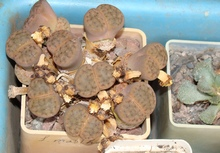 Отцветшие литопсы и справа кусочек титанопсиса
