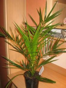Финиковая пальма цветовода Ios