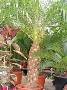 Изящная финиковая пальма вида Робелена