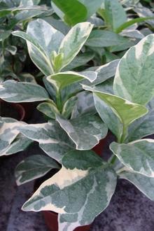 Псевдерантемум с бело-зеленой мраморной окраской листьев