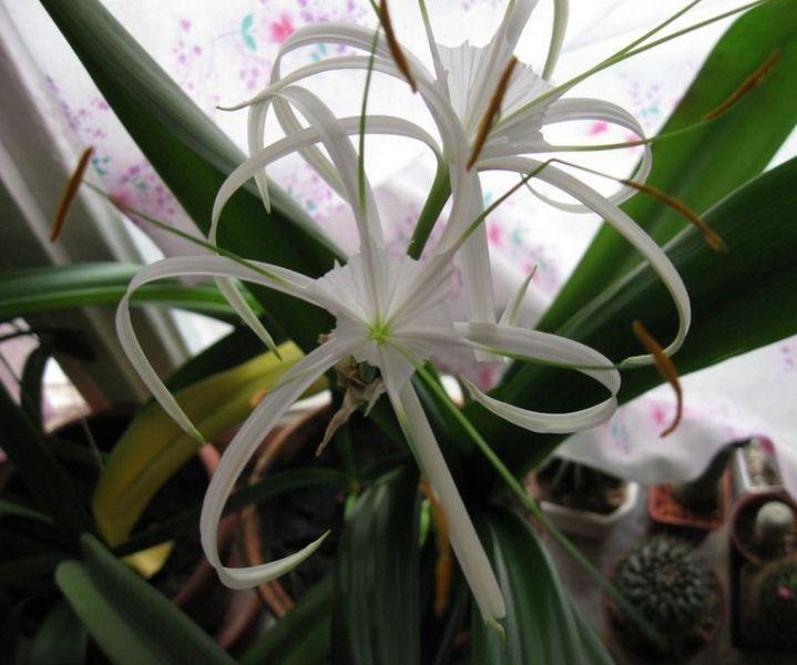 Гименокаллис цветок