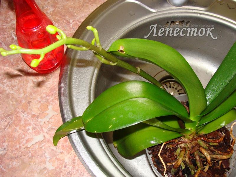 Как поливать орхидеями фаленопсис в домашних условиях 53