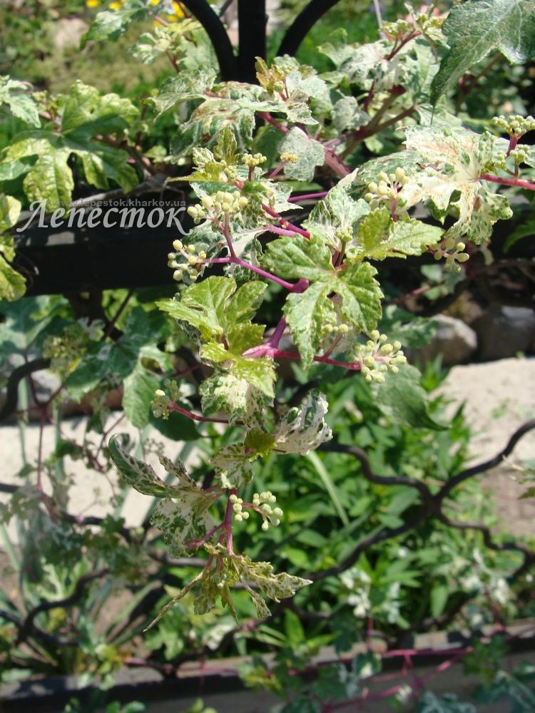 Виноградовник разно листный