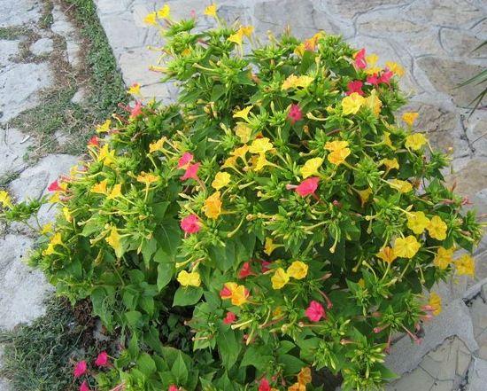 Мирабилис цветы фото